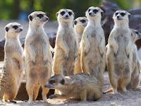Mengenal Uniknya Pembagian Tugas dalam Keluarga Meerkat