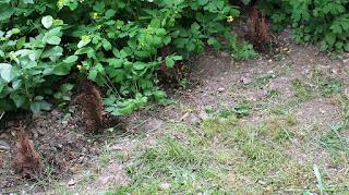 Florile si arbustii de la gradina Bakker [1]