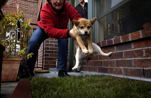 Shiba Inu puppy being placed outside to train him to pee outside
