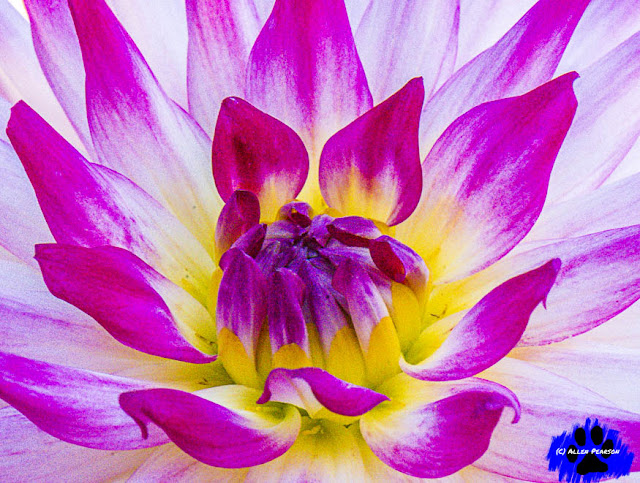 """Garden Perspectives! Dahlia Fuchsia Splashes!"" (C) Allen Pearson Photography"