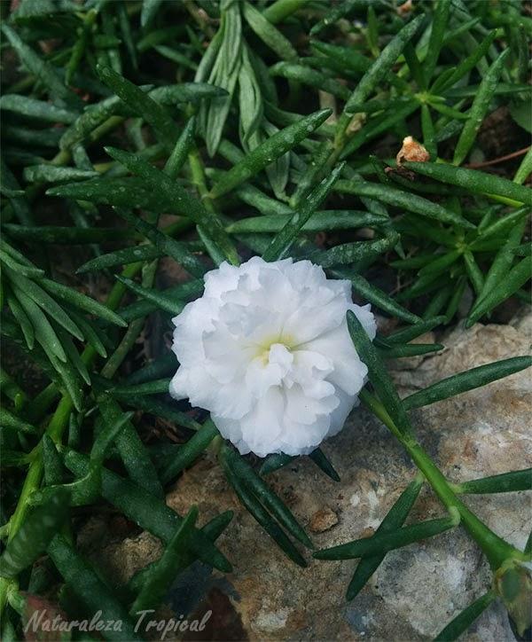 Variedad moñuda de la flor Diez del Día blanca (Portulaca pilosa)