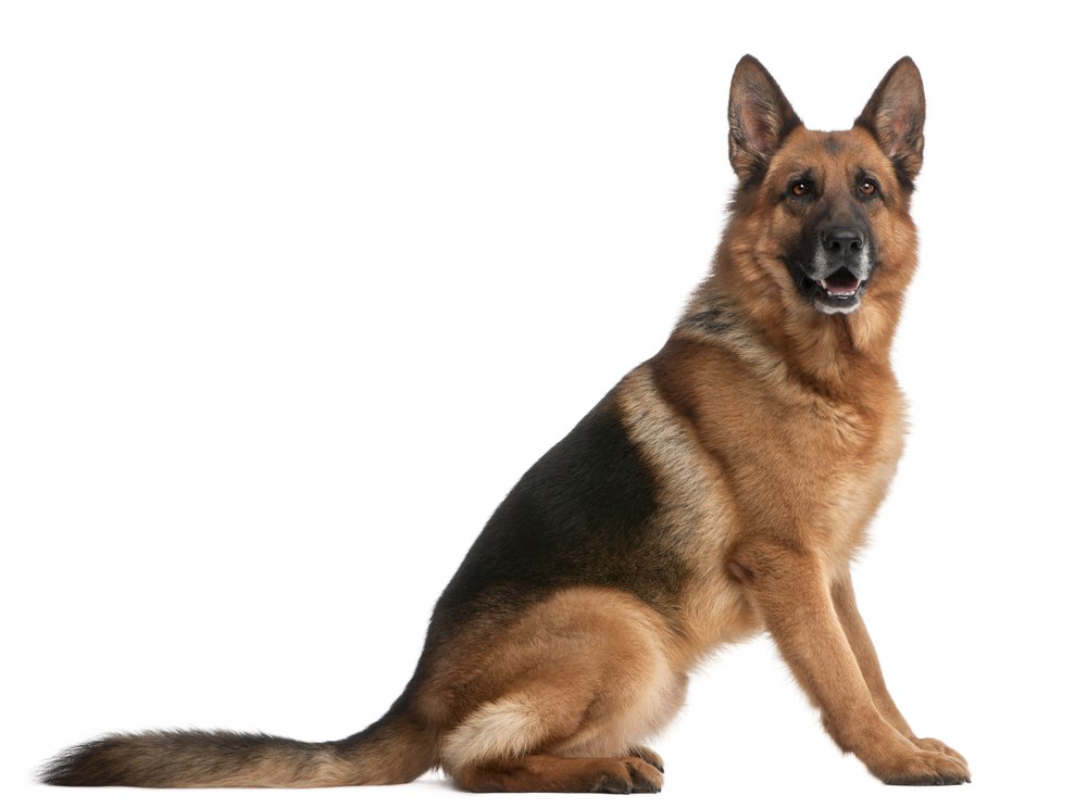 10 Most Aggressive Dog Breeds You Should Know