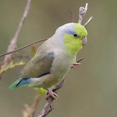 8 Top Yellow Parrots to Keep as Pets Pacific parrots