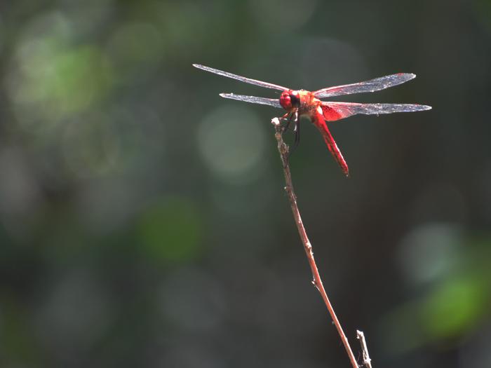 Valentina vaguda: nature, libelula, dragonfly, caribbean, naturaleza, rep. dominicana