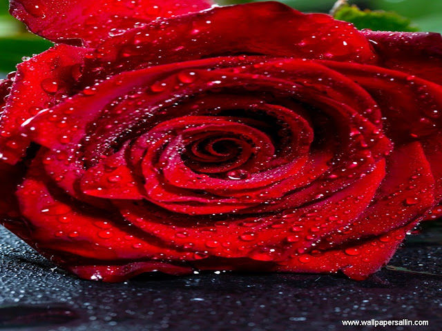 Rose Flower Wallpaper -1