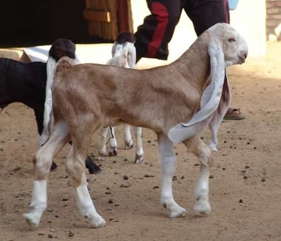 New Breed in Goats Hejazi Breed | Cattle Market Karachi
