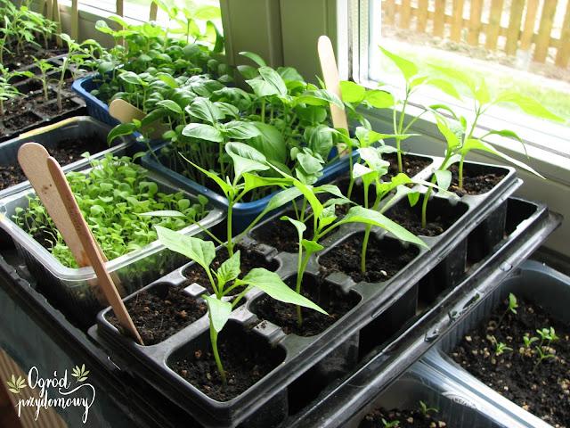 rozsada kwiatów, rozsada warzyw, rozsada warzyw i kwiatów, ogród przydomowy