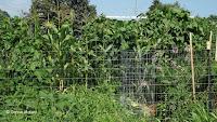 Corn rows - The Farm at Stratford, CT