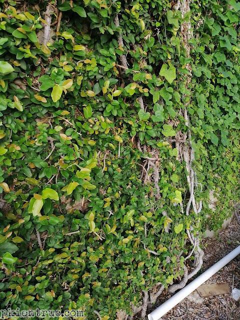 Cận cảnh màu lá non cây Ficus pumila có màu hồng- ảnh 2