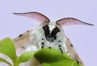 Venezuelan poodle moth, new type of moth, 2009, Arthur Anker,