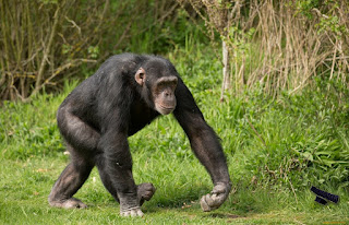 Сравнителен анализ на човешката и животинската психика - прилики човек-маймуна