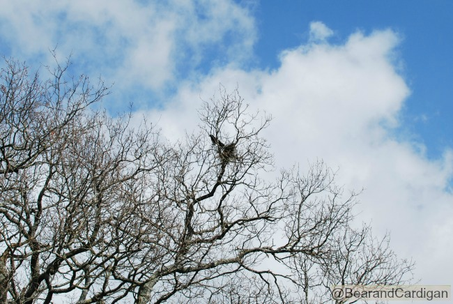 A Cardiff Garden In March Crows nesting in an Oak tree