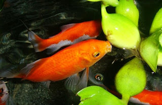 cara memelihara ikan komet di kolam,cara memelihara ikan komet dalam aquarium,budidaya ikan komet di aquarium,budidaya ikan hias komet,cara budidaya ikan komet di akuarium,