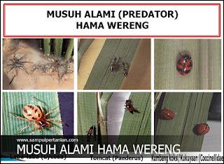 MUSUH ALAMI HAMA WERENG (Fulgoroidea)