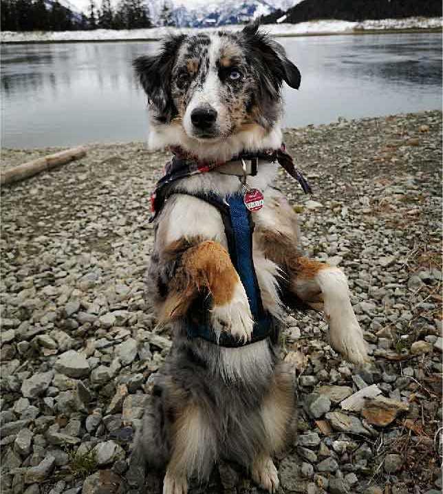 border collie, berger australien, race de chien, animal de compagnie, chien de compagnie, races de chiens, chiot, aussies, berger américain miniature, chien de chasse