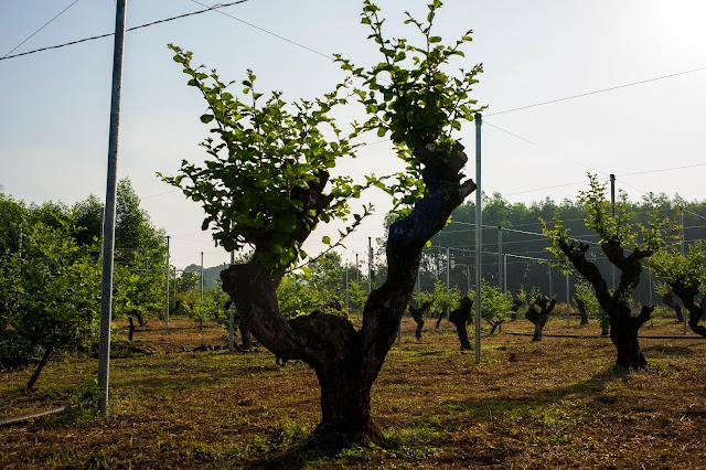 Tham quan vườn táo hồng Anh Lộc, Cẩm Mỹ, Đồng Nai