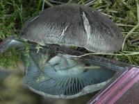mushroom_gills_with_mirror