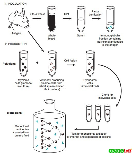 Preparation of polyclonal and monoclonal antibodies.