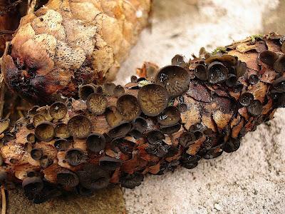 Baziówka szyszkowata [Prószyczka szyszkowa] Rutstroemia bulgarioides