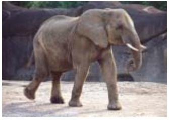 Ciri Khusus Hewan : Kelelawar, Cecak, Unta, Bebek, Gajah