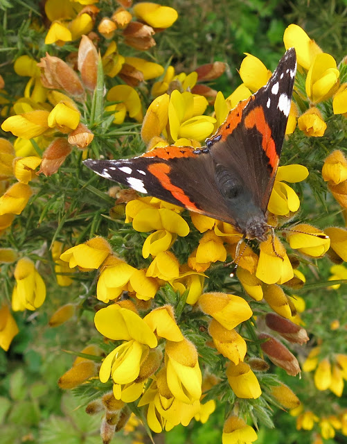 Red Admiral butterfly (Vanessa atalanta) on gorse flowers. May 13th 2013 - Wings open.