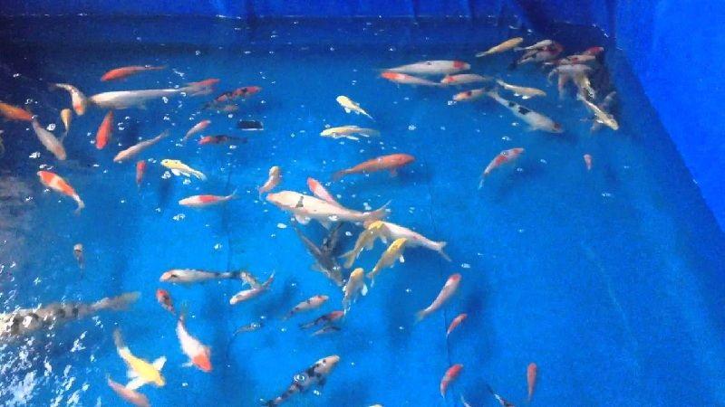 budidaya ikan koi di kolam terpal