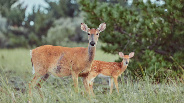 a doe and a fawn in the grass