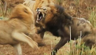 Gambar Pertarungan singa jantan sampai mati
