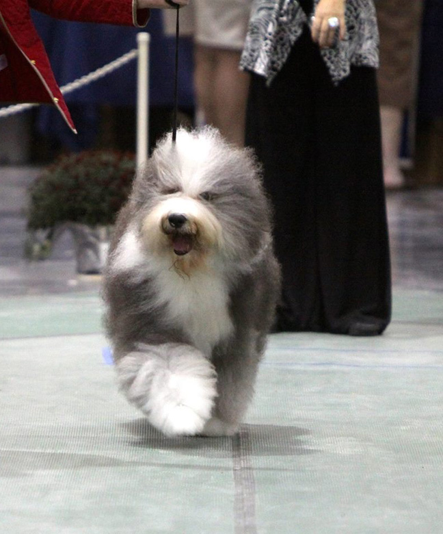 Tolkien Old English Sheepdogs & Bearded Collies