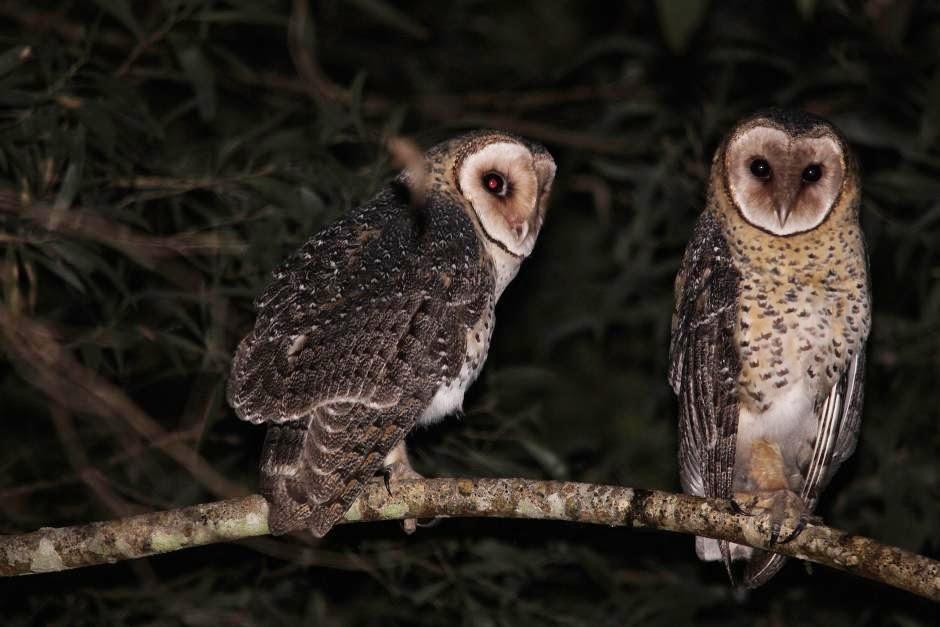 Lechuza australiana: Tyto novaehollandiae