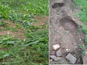 एक बार फिर जंगली हाथी ग्राम कोनारी जिड़ार के रहवासी इलाके में पहुँच कर फसल को किया नुकसान