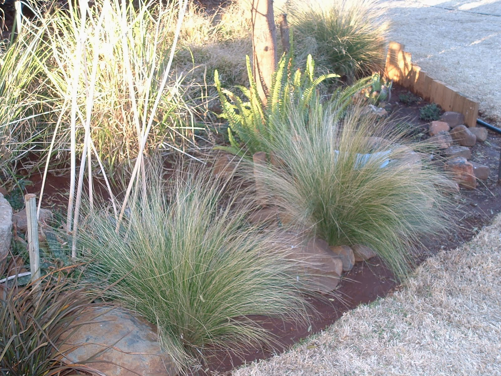Gardening in africa ornamental grasses in the garden for Blue ornamental grass varieties