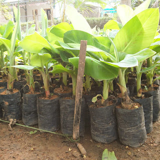bibit pisang cavendish bantul yogyakarta