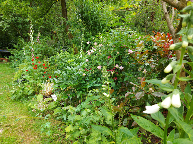 A garden border with pink and white foxgloves and red geum