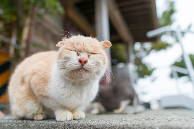 Stray cat of Enoshima