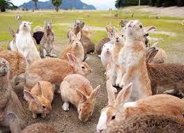 أوكونوشيما ، جزيرة الأرانب