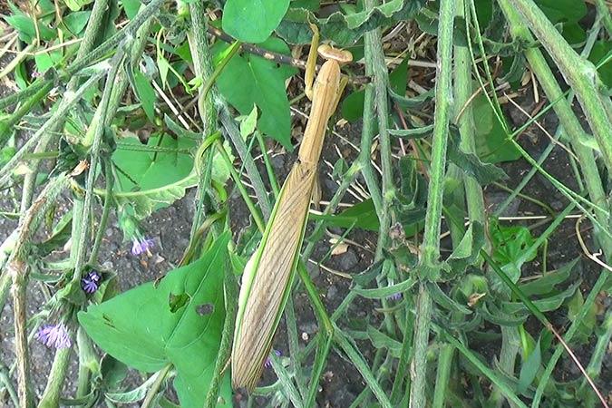 Dlium Japanese giant mantis (Tenodera aridifolia)