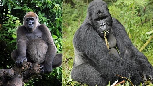 Cross Nehri Gorili Özellikleri