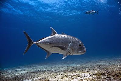 Ikan Giant Trevally