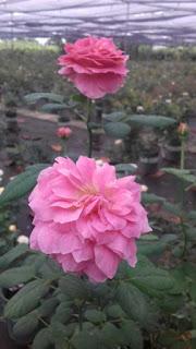 chống nắng cho hoa hồng vào ngày hè