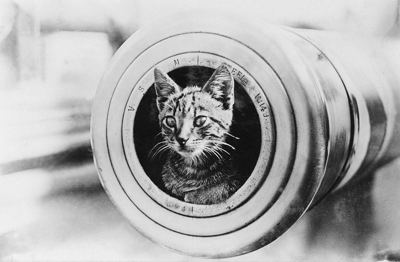 The feline mascot of the light cruiser HMAS Encounter, peering from the muzzle of a 6-inch gun.