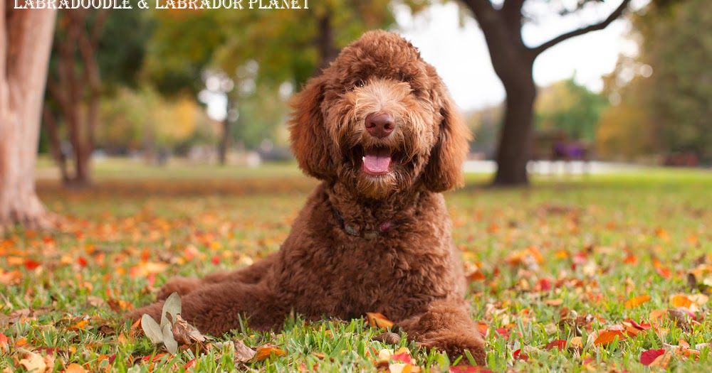 Mini Labradoodle Which Are Available For Sale in This Dog Shop House Are Quite Healthy