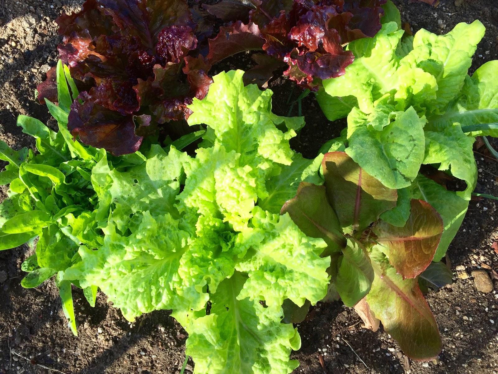 my california garden in zone 23 lovely lettuce from the winter garden