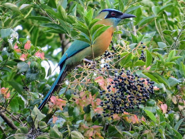Costa Rica Birds: Lesson's motmot