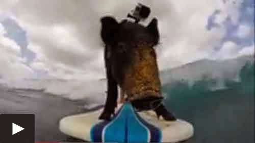 Kama The Surfing Pig Interesting