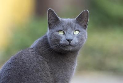 Sejarah Ras Kucing Russian Blue