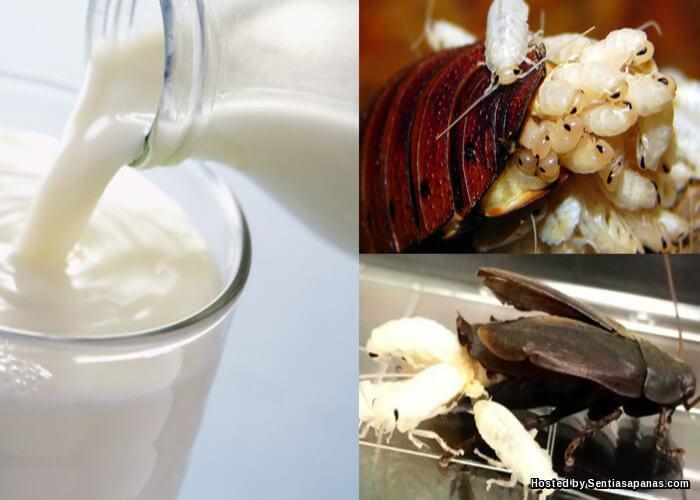 Penemuan Pelik Khasiat 'Susu' Lipas