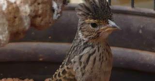 Burung Branjangan - Beberapa Faktor Penentu Burung Branjangan Mau Bunyi