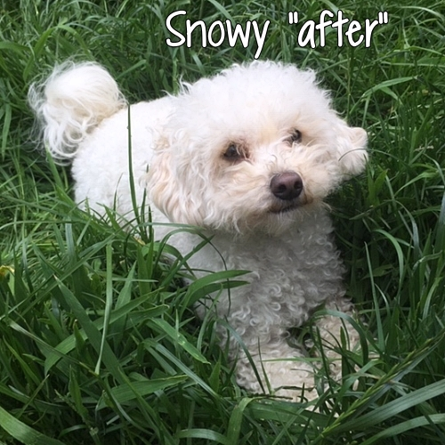 "Rescue dog Snowy ""after"""