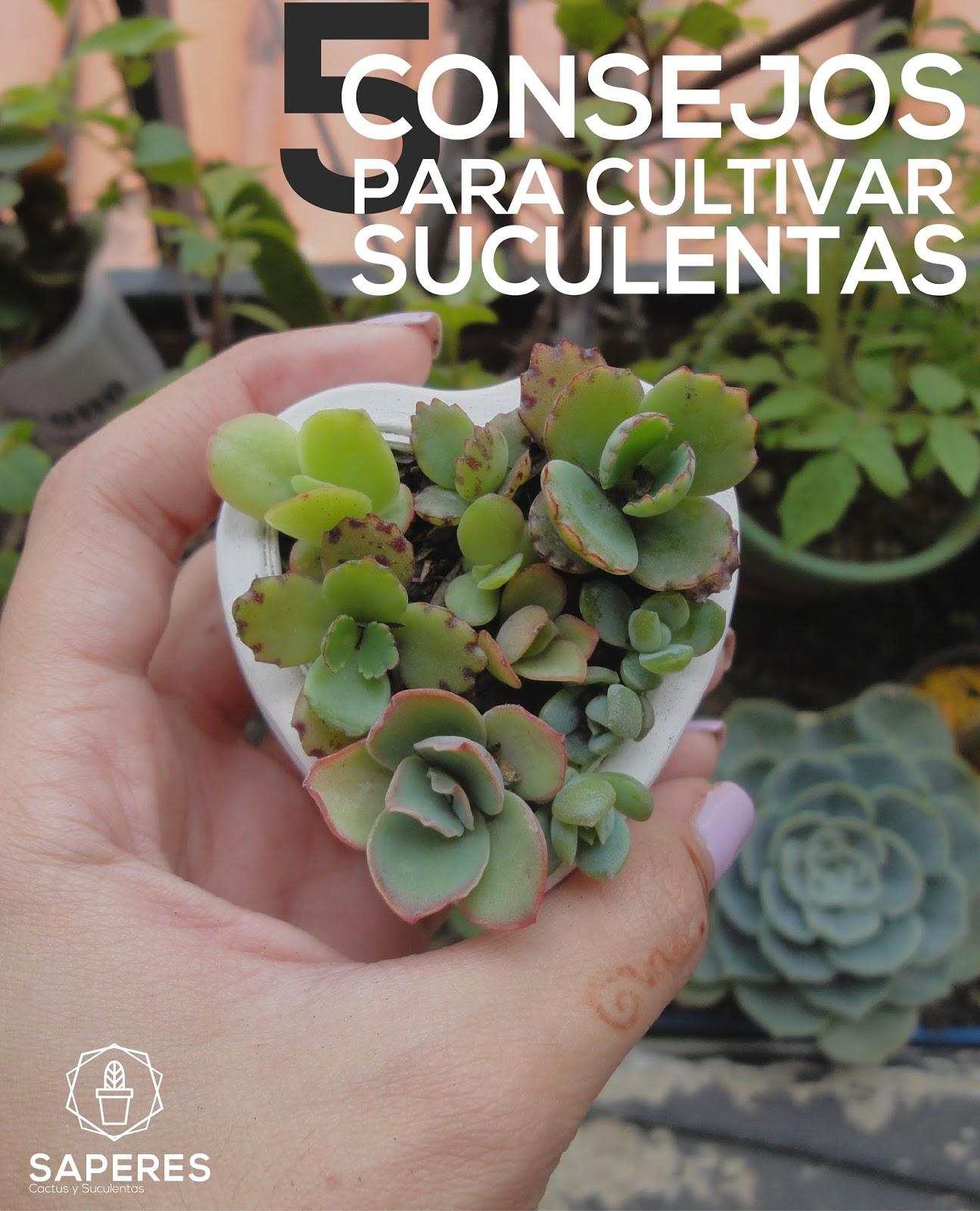 5 consejos para cultivar suculentas saperes - Tipos de plantas y sus cuidados ...
